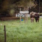 Kühe bei Hochzeit